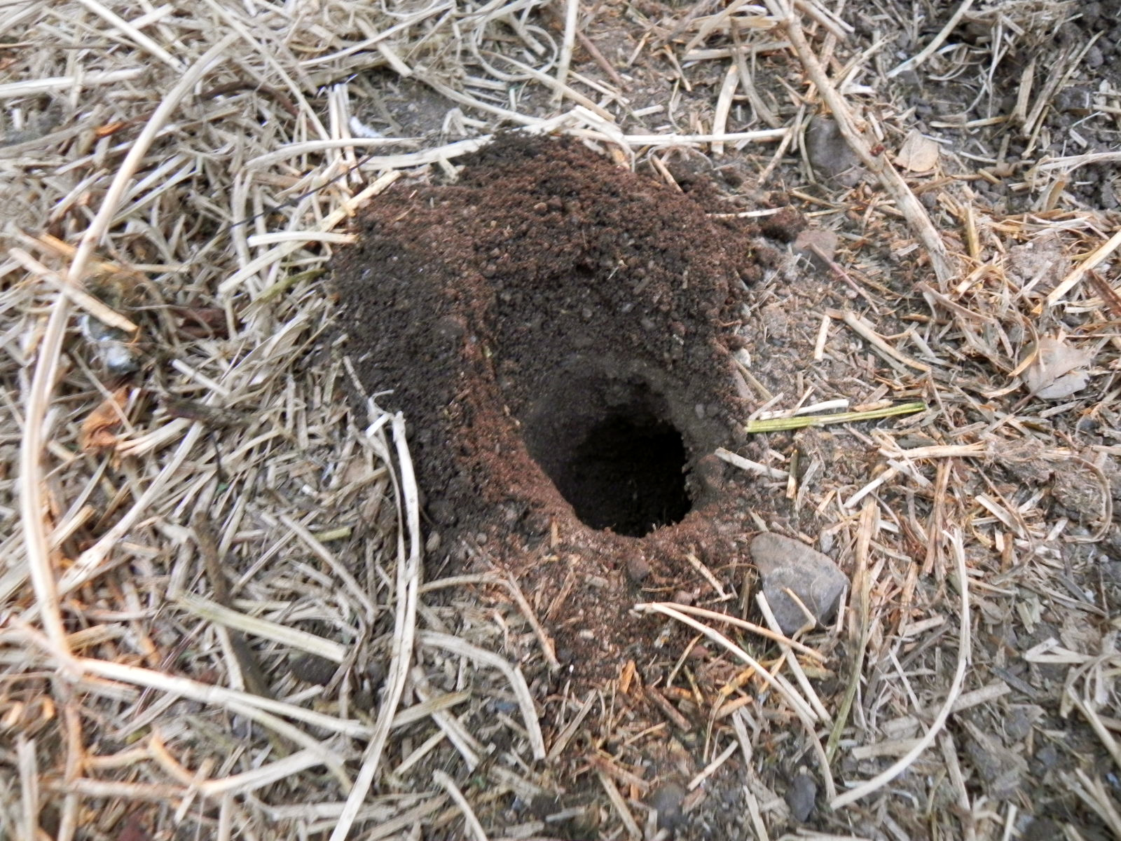 A Pocket Gopher Hole