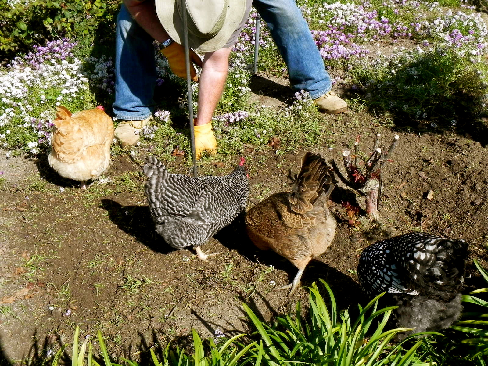 chickens clean up bugs and snails the hen blog australian