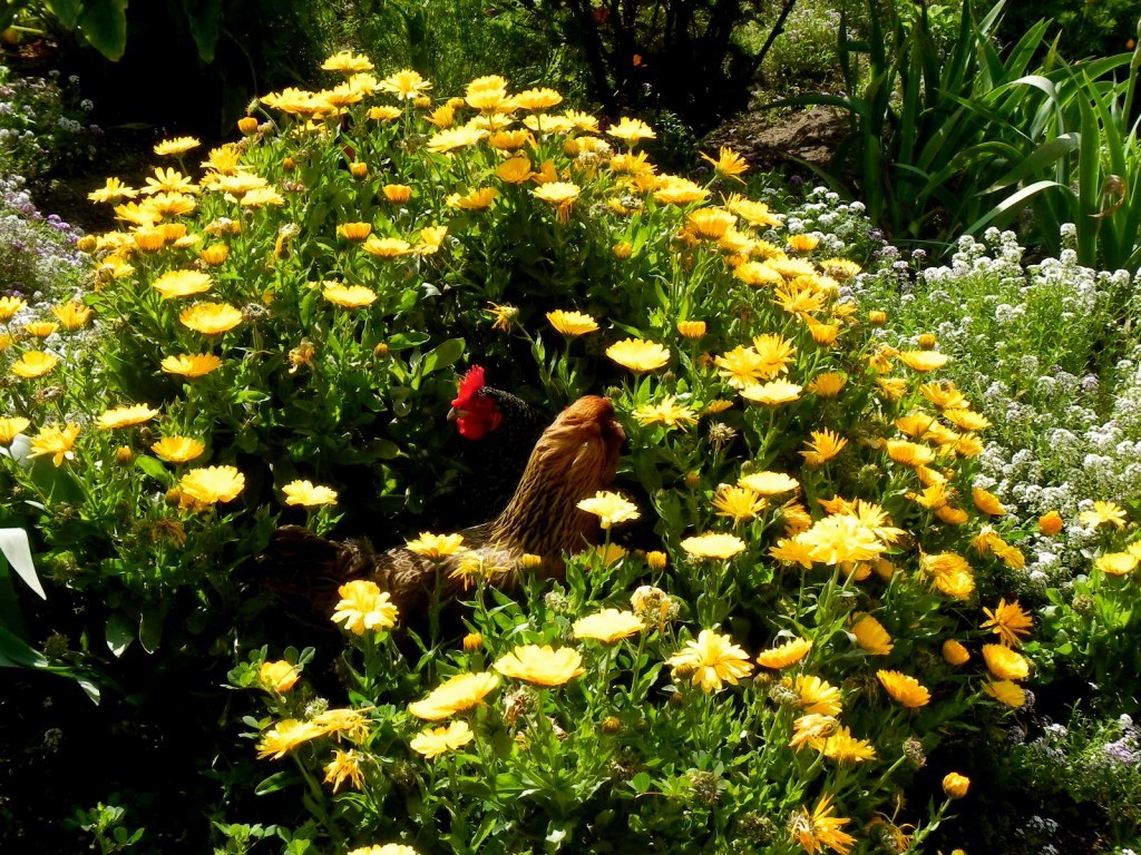 Two hen in flowering schrub (Calendula).