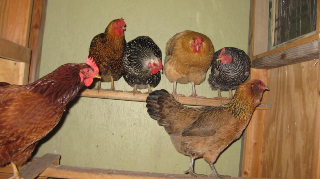 Hatchery hens on roost.